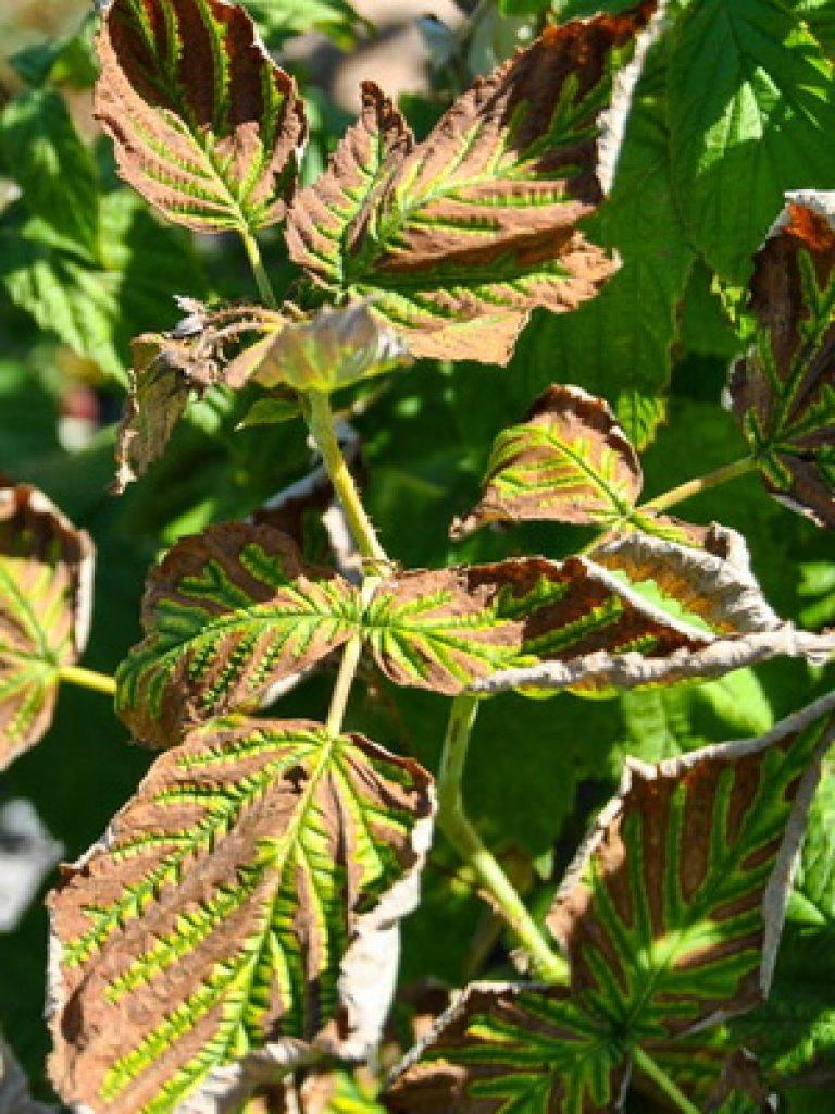 Обработка малины от болезней и вредителей