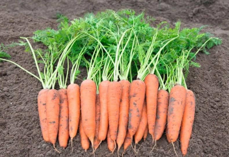 Что такое фиолетовая морковь? каких сортов бывает и как ее выращивать?
