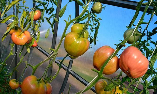 Помидоры «тяжеловес сибири»: описание сорта, агротехника выращивания