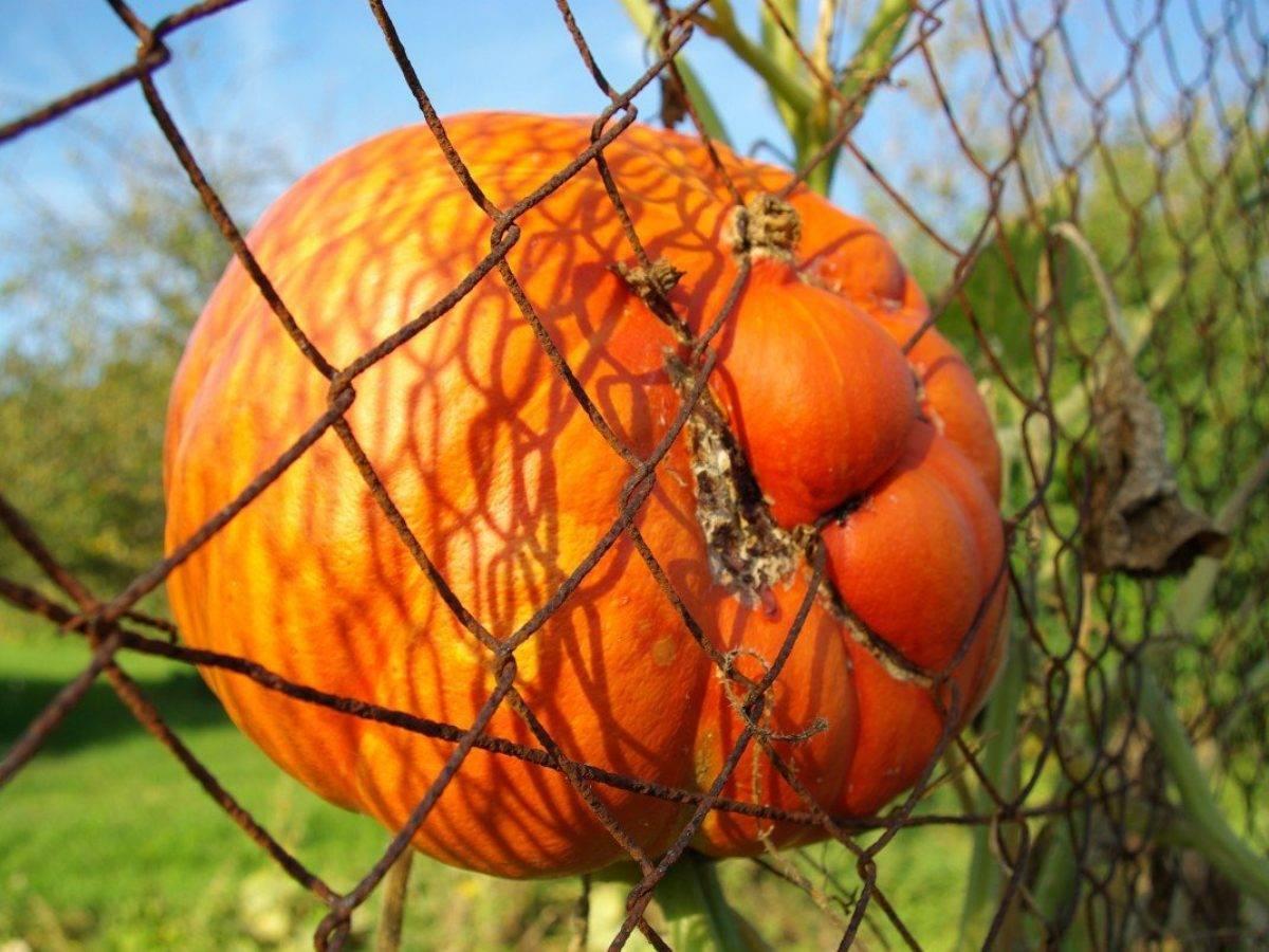 Тыква — правила выращивания и ухода в открытом грунте