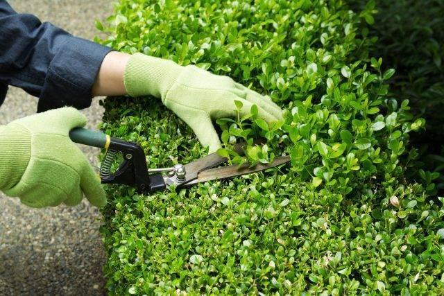 Обрезка вейгелы: как правильно обрезать кустарник после цветения? стрижка весной, осенью и летом для начинающих. как нужно формировать куст?