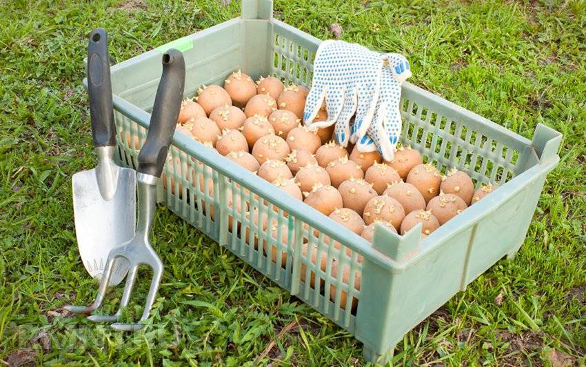 Чем обработать картошку перед посадкой от проволочника и колорадского жука
