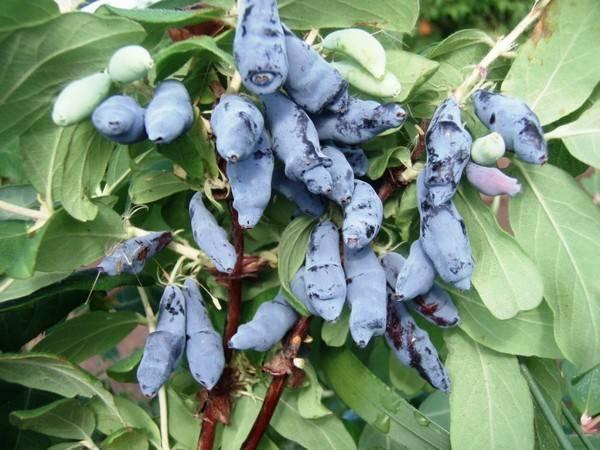 Смородина чёрная сорта глобус: характеристики и особенности выращивания