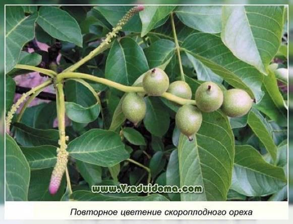 Семенное размножение ореха грецкого