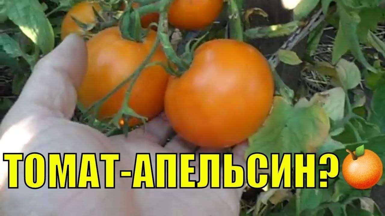 Помидоры апельсин: фото, отзывы, особенности сорта
