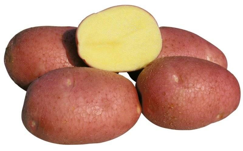 Картофель красавчик: характеристика, посадка и уход