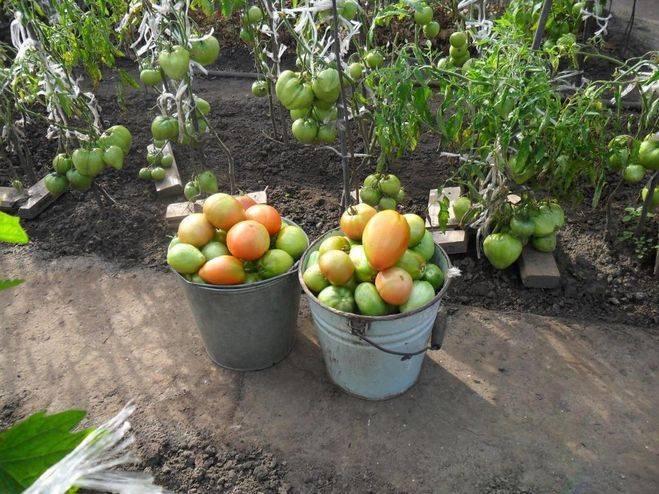 Правильное выращивание помидоров (томатов) в открытом грунте на даче