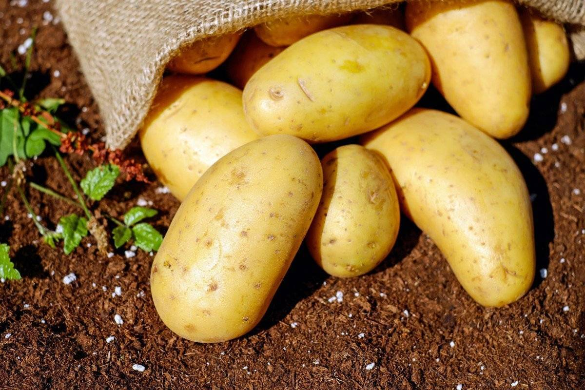 Методика посадки картофеля ростками (без клубней)