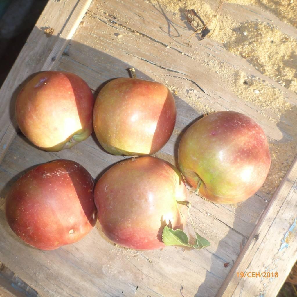Яблоня «беркутовское»: описание сорта, фото и отзывы