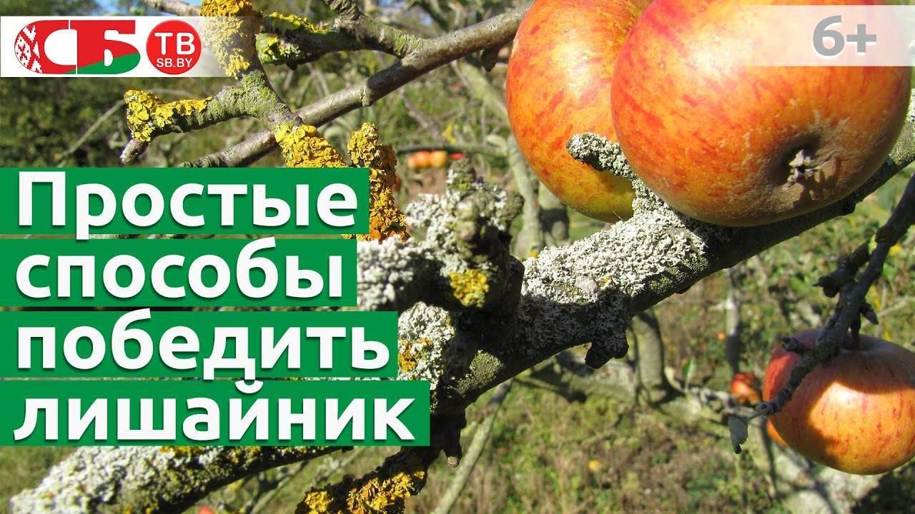 Мхи или лишайники на яблоне и других старых деревьях: нужно ли и как лучше бороться