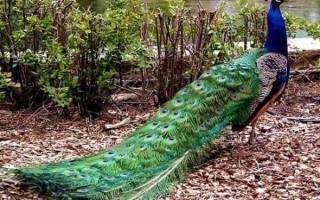 Голуби павлины: особенности породы и выращивание