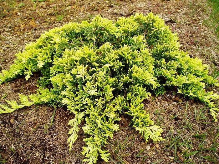 Можжевельник «голден карпет» (32 фото): описание сорта горизонтального можжевельника. использование в ландшафтном дизайне. посадка и уход