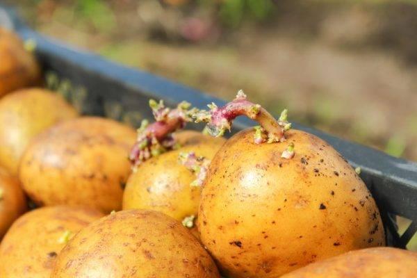 Как подготовить картофель к посадке весной — 5 самых важных моментов