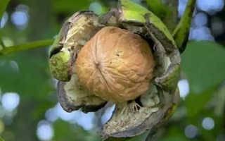 Обрезка ореха грецкого многолетнего