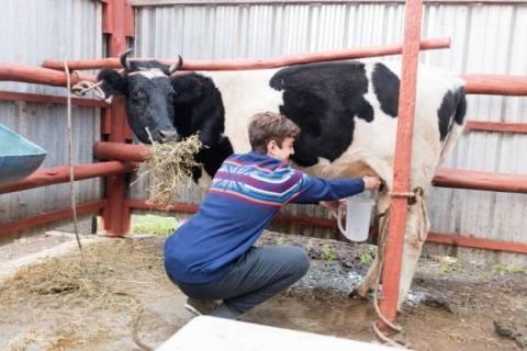 Что делать, если корова лягается при доении