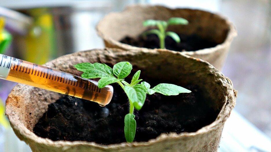 Как правильно подкармливать рассаду томатов луковой шелухой