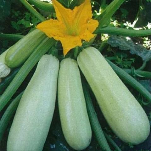 Кабачки: семена — лучшие сорта