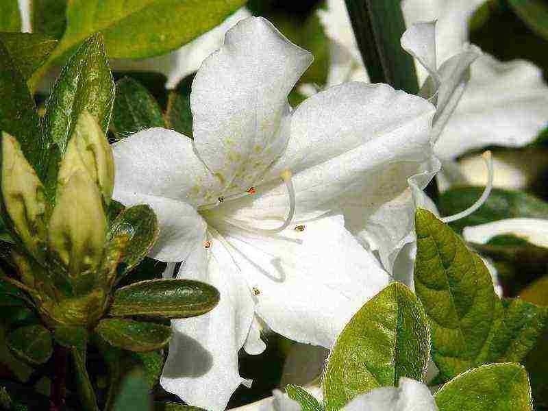 Рододендрон листопадный в дизайне сада: использование, выращивание и уход