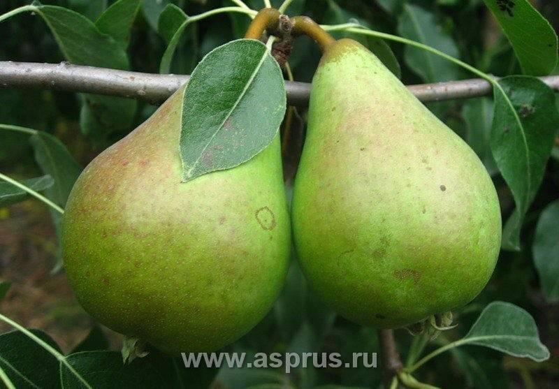 Особенности выращивания груши сорта лира