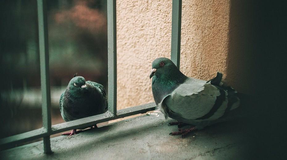 Отпугнуть голубей от подоконника и балкона: способы