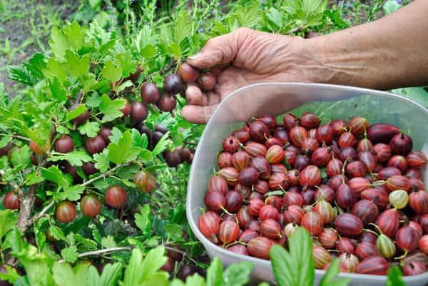 Характеристика сорта и особенности выращивания крыжовника консул
