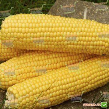 Топ 50 лучших сортов сладкой кукурузы с описанием и выращиванием