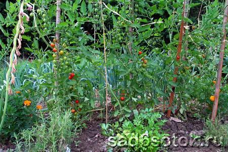 Выращивание помидоров в открытом грунте: особенности посадки и уход за томатами для получения большого урожая хороших высокорослых томатов, какой сорт лучше выбрать?