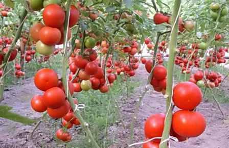 Сорта индетерминантных томатов для открытого грунта