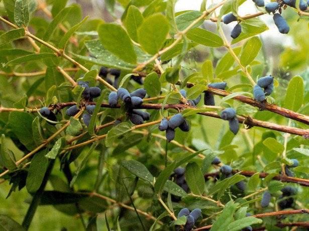 Посадка саженцев жимолости осенью: основные особенности