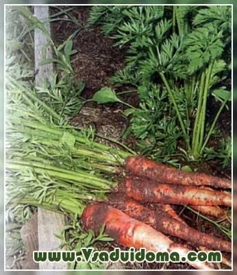 Как правильно осуществляется посадка моркови под зиму