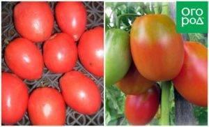 Описание сорта томата боец (буян), его характеристика и выращивание
