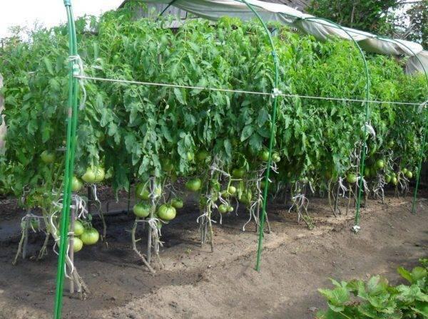 Выращивание томатов в Сибири