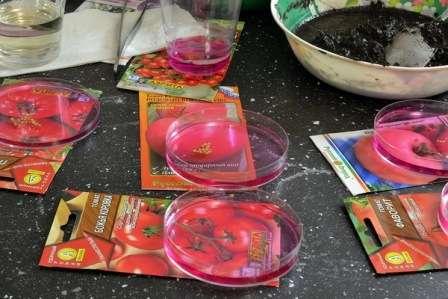 Обработка перед посадкой на рассаду семян помидоров, или томатов: как правильно готовить их к последующему посеву, надо ли обеззараживать, чем лучше воспользоваться?