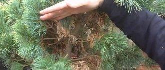 Болезни елей и их лечение: рекомендации опытных садоводов