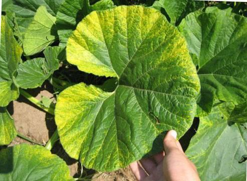 Почему начинают желтеть листья у тыквы в открытом грунте и что делать?