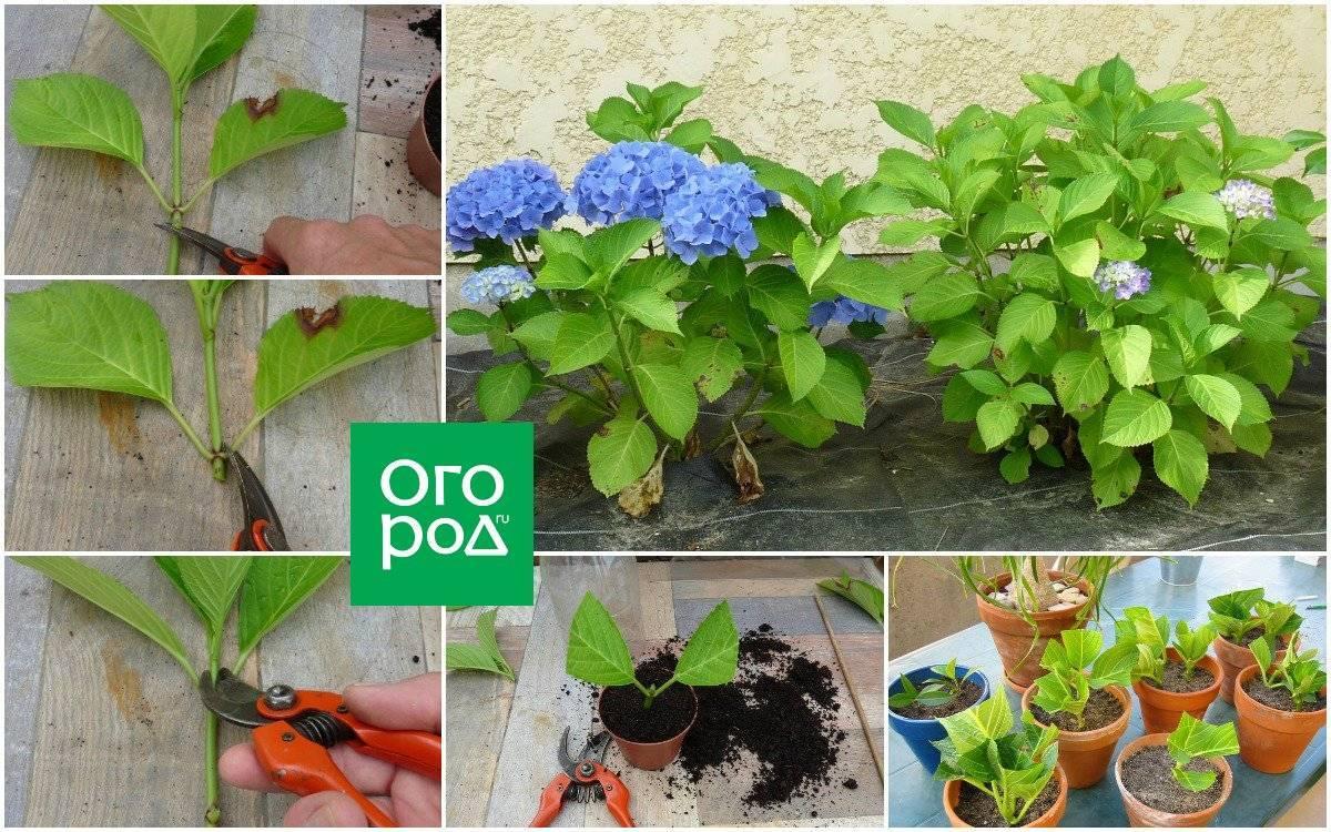 Размножение жимолости, посадка и уход за растением