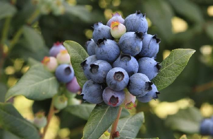Голубика блюрей: характеристика сорта и тонкости выращивания