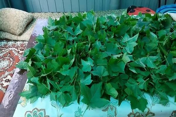 Ферментация листьев смородины и малины в домашних условиях