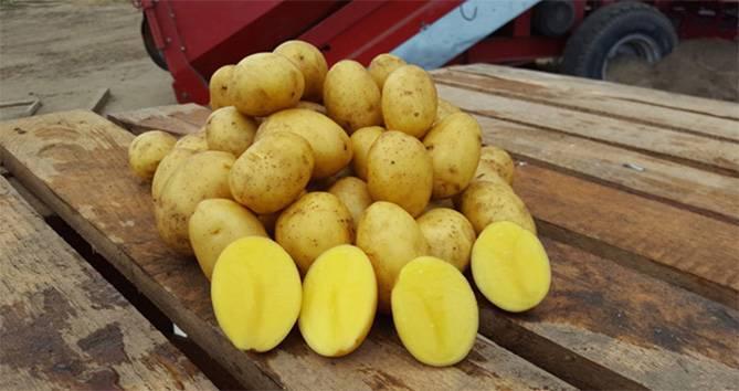 Сорт картофеля гала: характеристика и правила выращивания, плюсы и минусы сорта