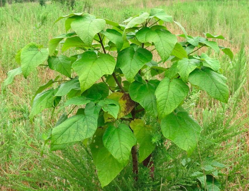 Растение катальпа посадка и уход