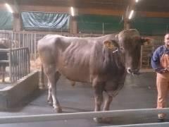 Казахская белоголовая порода коров: описание и правила содержания