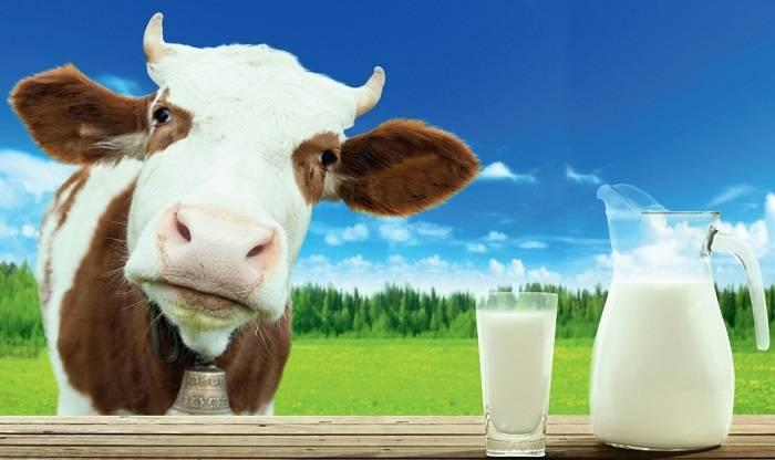 Уход за коровой после отела и возможные проблемы