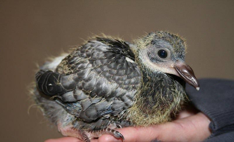 Маленькие голуби: как выглядит птенец и как ухаживать за ним