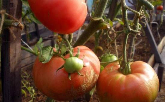 Шапка мономаха – русский томат. особенности выращивания культуры, описание плодов