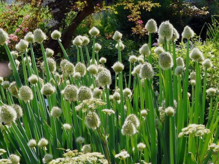 Лук-батун: как вырастить витаминную зелень без проблем?