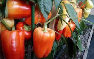 Лучшие сорта перцев для теплиц из поликарбоната
