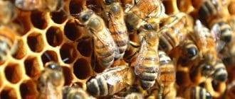 Сироп для пчел (сахарный), подкормка: соотношения, на зиму, осенью, инвертированный, как сварить?