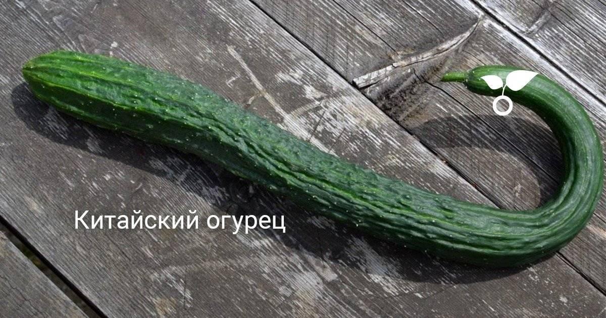 Огурец Китайский змей: описание сорта, фото, отзывы