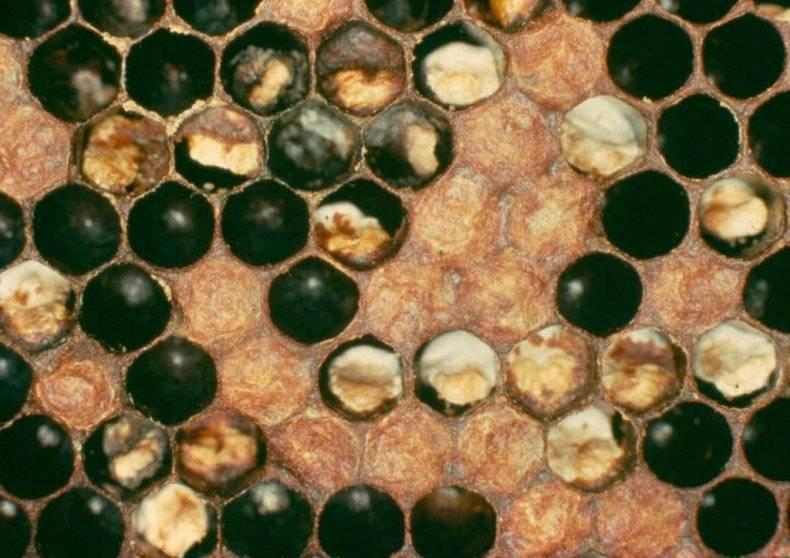 Аскосфероз пчел: профилактика и лечение