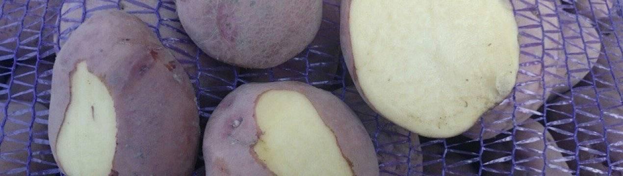 Сорт картофеля журавинка - описание, особенности, характеристики и отзывы - общая информация - 2020